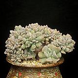 큐빅후로스티철화(7.16)|Echeveria pulvinata Frosty