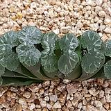 옥선 9107-4411 Haworthia truncata