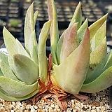 블러프레쳐스 9407-4554 Dudleya farinosa Bluff Lettuce