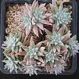 화이트그리니 자연목대 427|Dudleya White gnoma(White greenii / White sprite)