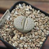 특가- 줄리-브라운립스틱 0716-16|Echeveria agavoides Lip Stick
