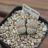 특가-줄리-브라운립스틱 0716-17|Echeveria agavoides Lip Stick