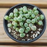 오십령옥 0716-23|Fenestraria aurantiaca