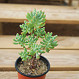 을려심 0716-37|sedum pachyphyllum