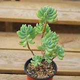 을려심 0716-38|sedum pachyphyllum