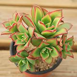 까라솔 0716-44|Aeonium decorum f variegata