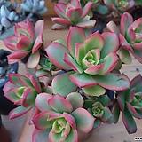 일월금-49-중품 Aeonium decorum f variegata