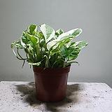 엔조이스킨 꽉참 공기정화식물  15256930 