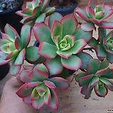 일월금-98-중품 Aeonium decorum f variegata