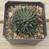 사마로 0716-49|Sinocrassula yunnanensis