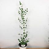 유칼립투스 / 외목대 / 공기정화식물 / 비염효능 /사진상품발송 04/ 한빛농원|