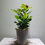 익소라 중품 꽃이활짝 매력적인식물 35454930 