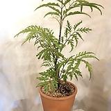 폴리셔스 토분세트+분갈이서비스 키 약35~40cm(시원스레 뻗은 잎의 아름다움) 