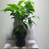 아라비카커피나무 중품 열매류 공기정화식물 40608950 