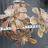 달마법사|Eonium arboreum var. rubrolineatum