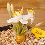 알스토니(백화)|Avonia quinaria ssp Alstonii
