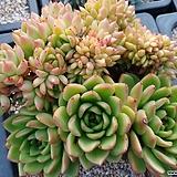 소후렌철화|Echeveria agavoides Prolifera