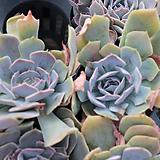 사막의별(선별발송)|Echeveria shaviana Desert Star