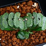 옥선 R-2|Haworthia truncata