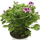 오렌지제라늄(중품)|Geranium/Pelargonium