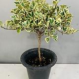 스윗하트고무나무 (동일품배송)