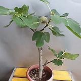 무화과나무(열매가 맺어 있어요)|