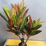 목대가 있는크로톤 (수입식물)  잎이 풍성해요|
