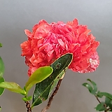 열매가 맺은석류나무 ( 꽃이지고나면 열매가 맺지요) 높이 55-60|