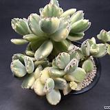 웅동자 금-8701 Cotyledon tomentosa ssptomentosa