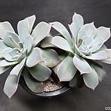 아우렌시스-8701 Echeveria Laulensis
