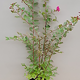 목백일홍(꽃대수형/3)-동일품배송|