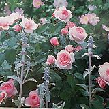 영국장미.대품.지오프 헤밀턴.old rose 향기.예쁜핑크색.(꽃형 예쁜형).울타리.장미.월동가능.상태굿..늦가을까지 피고 합니다.|