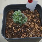 (7月)홍포도18|Graptoveria Ametum