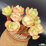 둥근잎비취후리데 1회컷팅 Echeveria Peach Pride