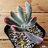 원종방울복랑금 자구1/뿌리튼실|Cotyledon orbiculata cv variegated