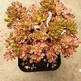 소인제금 65|Aeonium  sedifolius