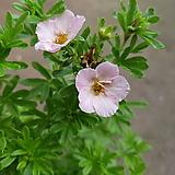 물싸리나무(분홍꽃)|
