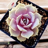핑크플로이드|Echeveria minima hyb Roid