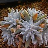 화이트그리니묵은군생 122|Dudleya White gnoma(White greenii / White sprite)