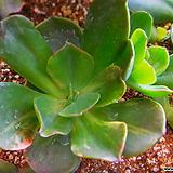줄리아금 005|Echeveria cv.Jyulia