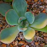 황홀한연꽃금 932|Echeveria pulidonis
