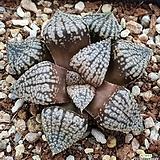 오쿠보픽타|Haworthia picta