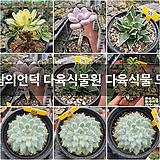 예쁘고 다양한 다육식물 (바람의언덕 다육식물원)|