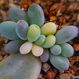 홍미인금잎꽂이 712|Pachyphytum ovefeum cv. momobijin