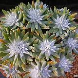 화이트그리니대품50두쯤 127|Dudleya White gnoma(White greenii / White sprite)