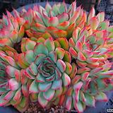 황홀한연꽃묵은대품 717-2167|Echeveria pulidonis