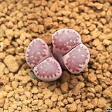 다73_ julii 菊長玉 × salicola Bacchus (가든실생교배종)|
