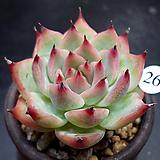 콜로라타|Echeveria colorata