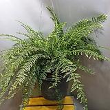 보스톤고사리(수입식물)  기존의 아이보다 특이해욪|Nephrolepis exaltata Bostoniensis