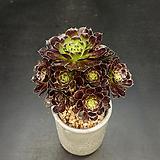흑법사-10두(7.17)|Aeonium arboreum var. atropurpureum